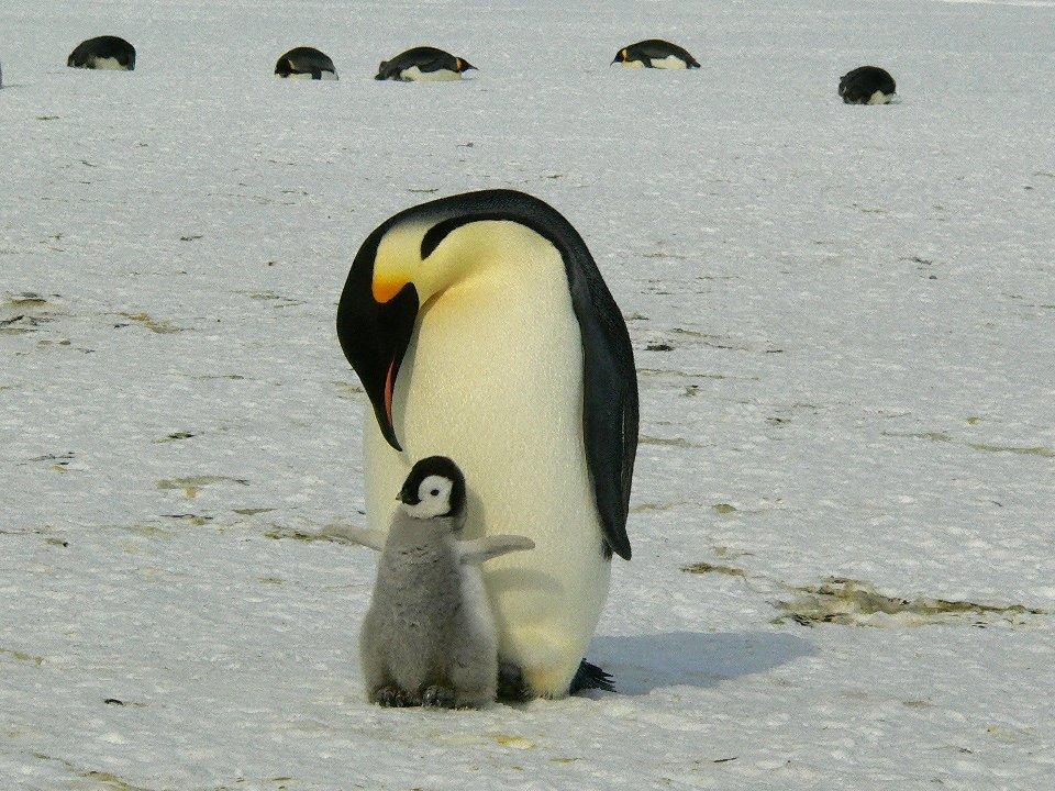 manchot empereur et son bébé